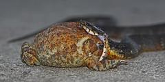 Big Mouth (gatordr) Tags: feeding snake southcarolina toad behavior watersnake bufo snakeeye snakebite americantoad snakeeating feedingbehavior southernwatersnake snakemouth snakeattack americanwildlife