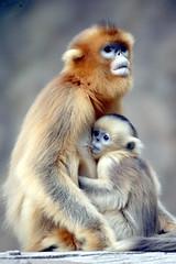 Golden monkey (floridapfe) Tags: animal zoo nikon korea everland goldenmonkey