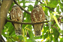Brown Hawk Owl (....Nishant Shah....) Tags: nature wildlife bird birds owl owls pair brownhawkowl ninoxscutulata thattekad kerala india nikon nikond90 300mmf28 tc17