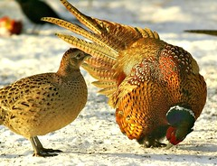 Impressing the ladies - Part 2 (Jaedde & Sis) Tags: two love couple pheasant bbq courting bigmomma fasan 15challengeswinner a3b friendlychallenges friendlychallengewinner challengefactorywinner thechallengefactory herowinner storybookwinner storybookttwwinner agcgsweepwinner