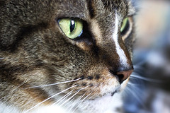 Hunter (DFChurch) Tags: pet macro face up cat eyes feline close hunter ilexiseo