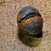 Giant Pill Millipede (Zephroniidae)