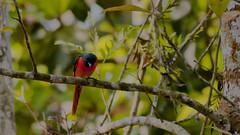 The Scarlet Minivet (chandankumar.com) Tags: bird birds wynberg kalpetta scarlettminivet