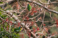 -  - Muller's barbet - Dasyueshan National Forest Recreation Area - Taichung (prince470701) Tags: taiwan  sigma70300mm  mullersbarbet taichungcity dasyueshannationalforestrecreationarea  sonya850