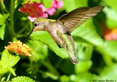 Ruby-throated Hummingbird / Lantana - Bayou Courtableau, Louisiana (Image Hunter 1) Tags: pink red orange plant flower green leaves birds yellow female flying leaf wings louisiana hummingbird feeding flight greenery nectar iridescent lantana wingspan rubythroatedhummingbird wingspread canoneos7d bayoucourtableau
