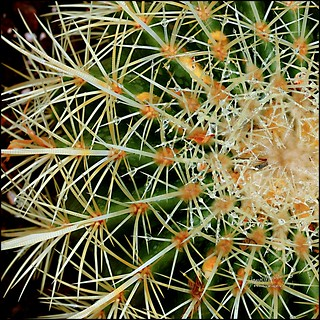 [Explored] Golden Barrel Cactus - Project Flickr: 05/52 - Square