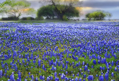 Once Upon A Time In Texas (Aspenbreeze) Tags: flowers rural spring flora texas country wildflowers bluebonnets lupine texaswildflowers blueflowers fieldofflowers aspenbreeze bestevercompetitiongroup bevzuerlein