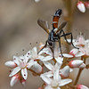 Tachinaire (Cylindromyia sp.) Tachinid Fly (Sinkha63) Tags: france macro nature fly wildlife vercors mouche diptera photomix drôme rhônealpes tachinidfly tachinidae cylindromyia diptères tachinaire treschenucreyers annesorbes 26drômerhonealpes