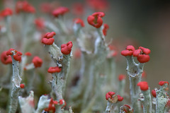 Cladonia polydactyla (Cladoniaceae) (Green Light Images is on Ipernity :)) Tags: scotland fungus lichen gli ascomycete cladoniaceae dsc1483