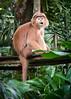 Singapore Zoo-230 (Jon Durman) Tags: animals zoo nikon wildlife april 2012 singaporezoo nikond700 nikon28300mm