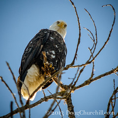 0552  I am predator... (Doug Churchill) Tags: california bird birds closeup danger outside death dangerous unitedstates natural threatening fear baldeagle threats terror violence dread predator closeups fearful unhappy barbaric brutality willows threat annoying vicious tormenting annoyed upset irritated brutal perilous frontview intimidating violent terrors merciless intimidation ruthless deaths baldeagles annoy torment incensed intimidate 52weeks sacramentonationalwildliferefuge lowangleview torments totw intimidates ruthlessness haliaeetusleucocephaluseagle nikond800e lptg13wk5