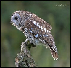 Tawny Owl (Strix aluco)  Explore Feb 3rd #335 (Col-Page) Tags: