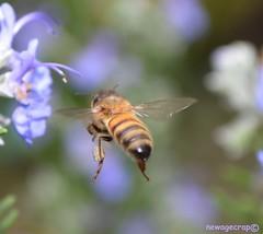 Hovering Honey Bee (newagecrap) Tags: california macro nature losangeles bees bee southerncalifornia honeybee sanfernandovalley northhills apis pollination losangelescounty beeflying northhillscalifornia nikond5100 newagecrapphotography