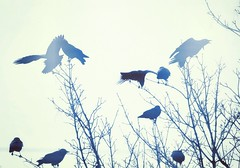 Clamourous Gathering III (liquidnight) Tags: camera morning blue trees winter birds animals misty oregon portland wings nikon bare wildlife branches birding dream foggy silhouettes treetops filter gathering urbanwildlife pdx dreamy laurelhurst crows loud birdwatching corvid noisy cyanotype vocal corvusbrachyrhynchos alight d90 raucous pinions clamour instagram
