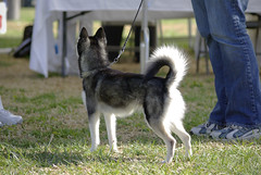 Kono (Alexandra Kimbrough) Tags: show dog toy miniature husky pentax huskies event kai klee alaskan ukc conformation akk