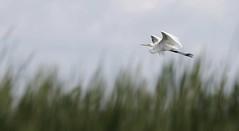 Elegance in the sky (Jeannine St. Amour) Tags: bird egret greategret nature wildlife birdinflight action flying