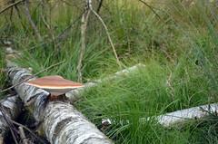 Mushroom on birch (Bjrn O) Tags: pilz pilze herbst birke wald mushroom mushrooms birch wood makro macro closeup close