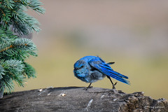Gettin' the kinks out! (craig goettsch) Tags: colorado mountainbluebird male blue green avian bird wildlife nature animal nikon d500 600mm sunrays5