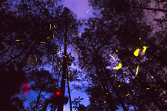 Fireflies appear (Orlando Stuwe) Tags: luciernagas fireflies trees woods blue purple mexico bosque