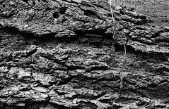 Photo Walk 18/08/16 (chrishoodphoto) Tags: ilford hp5 bw canon eos 30 35mm f2 50mm f18 high contrast nikon coolscan iv ed vuescan lightroom adobe bark detail texture rough