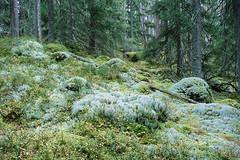 Magical Forest IV - Fuji Provia 100F (magnus.joensson) Tags: sweden swedish smland norrakvill forest tree fuji provia 100f nikon nikonfe nikkor 2550mm ais