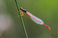 Green and Red (naturephotographer59) Tags: 005familiecoenagrionidaeschlanklibellen insekten libellen tiere scharlachlibellesmallreddamselceriagriontenellum