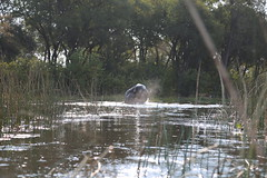 Elephant Spy Shot (www.mattprior.co.uk) Tags: adventure adventurer journey explore experience expedition safari africa southafrica botswana zimbabwe zambia overland nature animals lion crocodile zebra buffalo camp sleep elephant giraffe leopard sunrise sunset