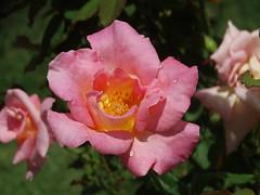 DSC00487 (gregnboutz) Tags: flower flowers bloomingflower bloomingflowers brightflowers colorfulflower colorful colorfulmacros colorfulmacro colorfulroses colorfulrose macro macros macroflower macroflowers macroroses macrorose pink pinkflower pinkflowers pinkroses pinkrose
