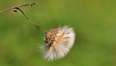 Seed Head 170816 (2) (Richard Collier - Wildlife and Travel Photography) Tags: naturalhistory macro flowersenglishflowers british flora wildflowers seedhead thistle green