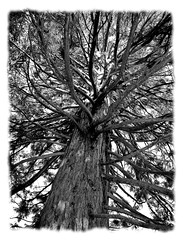 A Giant Towered Above (nelhiebelv) Tags: sequoia