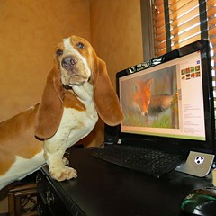 IMG_1422 (Mel's Looking Glass) Tags: dog pet basset hound