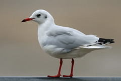Black Headed Gull (Dartmoor Mike) Tags: black headed gull winter plumage devon bird birds