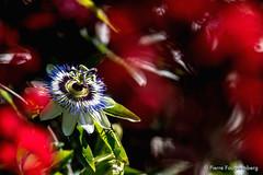 Passiflore derrire un loblia (Pierre Fauquemberg) Tags: fleur flower flowers fleurs jardin pierrefauquemberg nikond750 tamron7020028 tamron70200mm28 passiflore passiflora nature natural flore lobelia loblie
