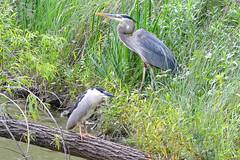 Fishing Buddies (NaturalLight) Tags: greatblue blue blackcrowned night heron fishingbuddies chisholmcreekpark wichita kansas
