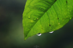 DSC_0123 (nemethnimrod97) Tags: waterdrops wate water blur gre green leave nikon nikond3300 nik nikonhungary helios 442 macro nature naturelove naturelovers