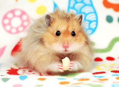 Gucio ~ Bubu's brother (pyza*) Tags: hamster hammie chomik syrianhamster syrian furry fluffy critter rodent animal pet monster cute adorable