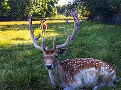Bambi (Omroep Zeeland) Tags: hert hertjes dieren zeeland lovezeeland vlissingen