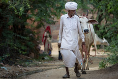 Inde: le Rajasthan, l'homme et sa vache. (claude gourlay) Tags: inde india asie asia indedunord northindia claudegourlay village chandlao rajasthan campagne vache vachesacre