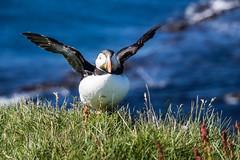 Puffins - Papegaaiduikers -  Latrabjarg - Westfjorden Iceland (Rita Willaert) Tags: meeuwen iceland westfjorden ijsland alken papegaaiduikers latrabjarg fjorden vestfirir is puffins