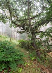 An Old Oak (Tom_Drysdale) Tags: wood autumn silver queensferry bridge mist south 2016 september woodland bracken tree fuji fog fujifilm birch oak forth