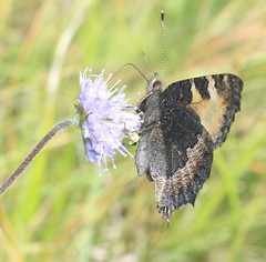 small tortoiseshell Aglais urticae nymphalidae (BSCG (Badenoch and Strathspey Conservation Group)) Tags: gos