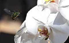 Coming in to land (legalluce) Tags: insect insects outdoor outside flower flowers closeup macro animal animals