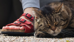 A foot and a cat (FocusPocus Photography) Tags: cleo katze cat chat gato tier animal haustier pet fuss foot schuh shoe
