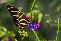 Butterflies (Bert de Boer) Tags: butterflies vlinders butterfly bertdeboer oudepekela bertop garden groningen