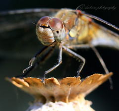 Up close explored 31/08/16 #218 (~ **Barbara ** ~) Tags: dragonfly macro canonmacrolens 100mm f2l handheld garden closeup wildlife insect commondarter odonate explored