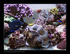 STETderasa7183_160616 (kactusficus) Tags: marine aquarium reef tank home coral tridacna derasa clam benitier