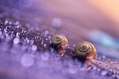 In a wonderful world (Marilena Fattore) Tags: artistic canon tamron colors water drops creativity nature closeup focus reflection bokeh light purple snail chiocciola animals brilliance sparkle brightness spiral