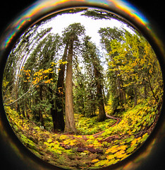 ancient forest  (94 of 151) (ve7org) Tags: ancientforest ancientcedars cedartrees parks trail