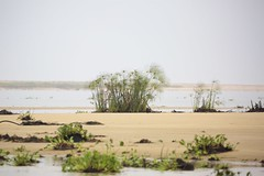 Papyrus along the Kwanza Estuary (piazzi1969) Tags: angola kwanza africa afrika canon eos 5d mark iii ef100400mm papyrus