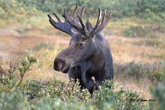 September 4, 2016 - A bull Moose in Roosevelt National Forest. (Ed Dalton)